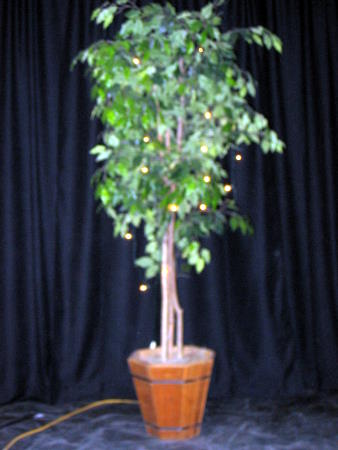 Mclean Sherwood Rentals Ficus Tree W Lights Mclean